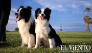 ボーダーコリー&ノーフォークテリア子犬の成長記