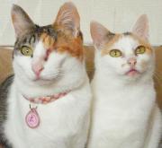桜と雛の家猫日記