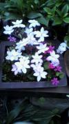 故郷に咲く花