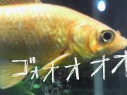 ウチの金魚さま