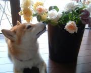 Maman's Garden  お花と私と柴犬と