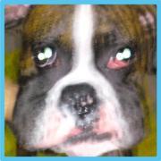 ボクサー犬のBONOです