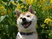 柴犬ハナコ、時々ヒナタの日記