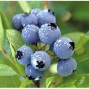 ブルーベリーの栽培してみませんか?