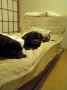 LIVING WITH PUG パグと姉ちゃん