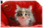wisekatt cattery - ノルウェージャン・ブリーダー