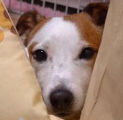 リンパ管拡張症を患った犬の記録