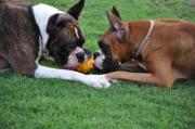 ボクサー犬ブリーダー トリビュートボクサーズブログ