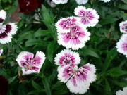 ハーブと花の栽培日記