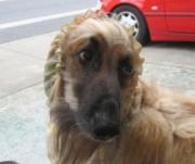Afghan hound - SCHERER