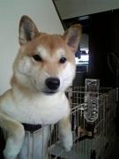 柴犬、わん五郎♪