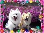 クヌート犬みらい&ポメラニアンLeaのわんわんブログ