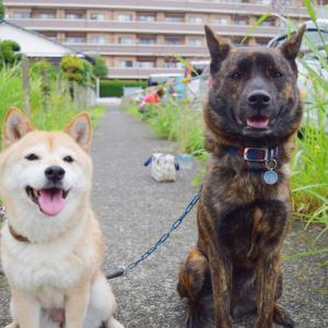 柴犬エミー16歳と甲斐犬ハルヱ4歳の日々徒然『川沿いに歩く』