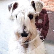 ホワイトシュナウザーとシングル犬好き女社長のブログ