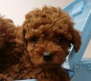 子犬のブリーダーによる子犬販売のブログ