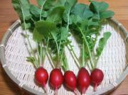 ベランダと小さな庭で野菜づくり