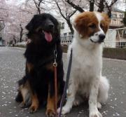 お気楽犬 「ルイとラム」