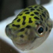 ミドリフグのプグ太郎ときどき金魚
