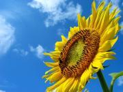 空と向日葵。