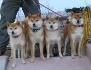 柴犬凜の勇気凜々every day