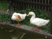 duck4のデンマーク留学