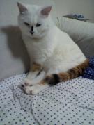 白ネコ?三毛猫?てんちゃんと仲間たち