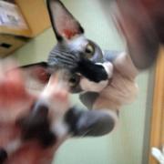 キモカワ猫 スフィンクスの吉良上野介