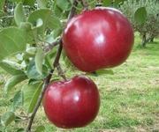 篠根果樹園日誌/北海道北見市のリンゴ園より