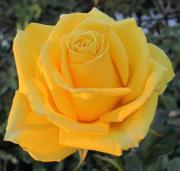 バラ香る庭園 Fragrant rose gardenさんのプロフィール