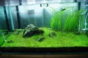 水草水槽で絨毯・草原を作りたい