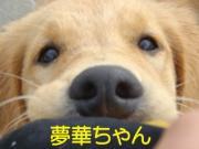 セラピードッグ夢華のお気楽日記
