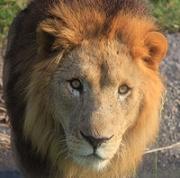 ライオン大好き☆アニマルブログ