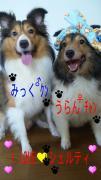 我が家の愛犬shellママのブログ