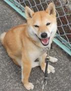 柴犬「花」とのつれづれ散歩2