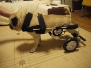パグ犬ドン吉と車椅子