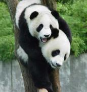 パンダ熊猫飼育日記