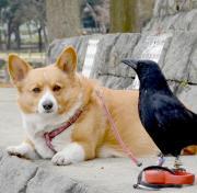 コーギーSP犬モカとガー幸