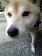 老犬コロちゃんのコロコロライフ