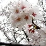町田 多摩 桜 マップ