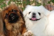 エッセイ二ペキニーズ犬の生活