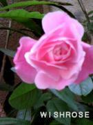 wish rose
