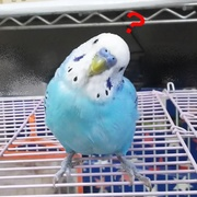 with lovely budgerigars