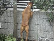 ボクサー犬とガーデニング生活