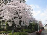 桜、小金井