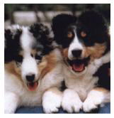 Garanceria Shelties