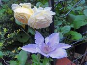 Rose-Lotus
