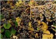信州スローライフ、山ぶどう栽培
