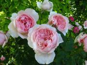 薔薇とクレマチスが大好き