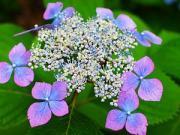 紫陽花のままに