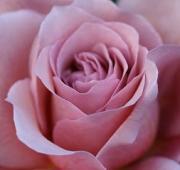 バラ好きな毎日